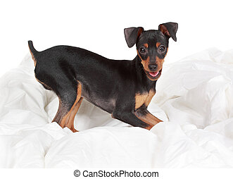 cute tiny pinscher dog, beige background