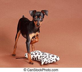 cute tiny pinscher dog, brown background