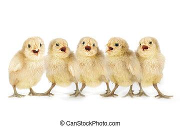 cute, pintainhos, cima, amarela, bebê, alinhado, cantando