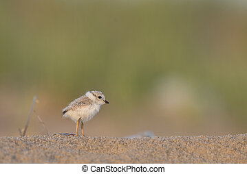 Cute Piping Plover Chick