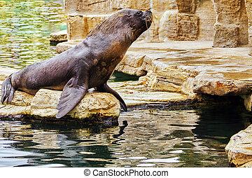 Cute playful California sea lions (Zalophus californianus)...
