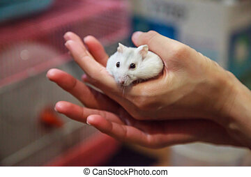 cute playful female Winter White Dwarf Hamster (Winter White Dwarf, Djungarian, Siberian Hamster) is in owner hand, trying to get off. Pet health care, friend, fun, love and domestic house pet concept