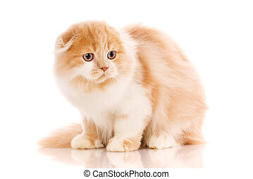 Scottish Fold cat portrait.