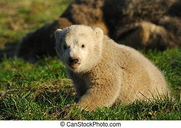 cute polar bear cub on the grass