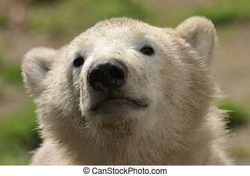 cute polar bear cub - portrait of a cute polar bear cub