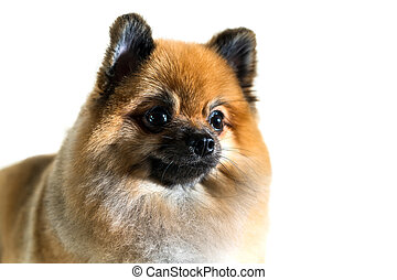 Cute pomeranian dog isolated on white background