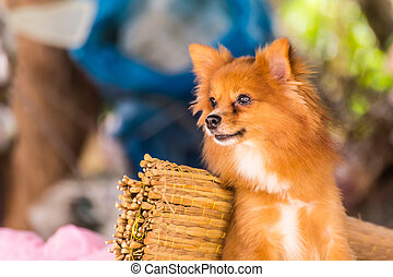Cute Pomeranian dog, pet