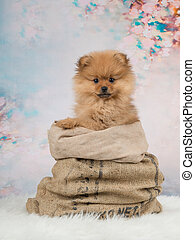 Cute pomeranian puppy dog in a bag at a romantic background