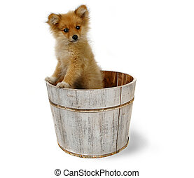 Cute Pomeranian With Adorable Expression