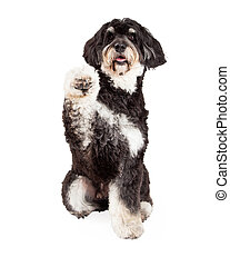 Cute Poodle Mix Breed Dog Shaking Paw - A cute Poodle Mix...