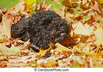 Cute poodle playing in leaves.