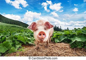 cute, porca, pastar, em, verão, prado, em, montanhas,...