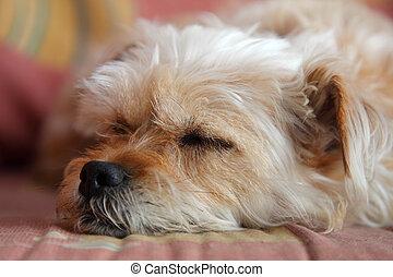 cute, preguiçoso, sofá, cão, dormir