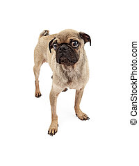 Cute Pug Dog Standing