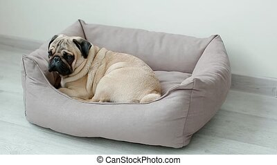 Cute pug going to his pillow. Dog ready to sleep.