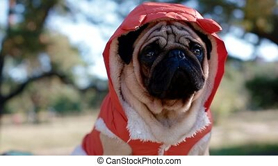 Cute pug in the costume of devil. Portrait of the dog...