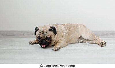 Cute pug kaying on the floor - Cute pug aying on the floor....