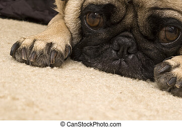 Cute Pug Laying Down on Carpet.