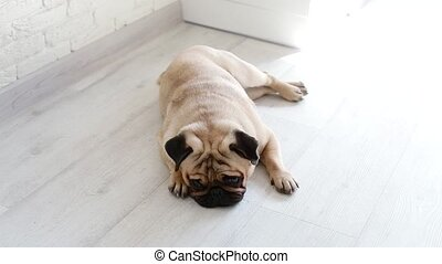 Cute pug laying on the floor. Sleepy small dog indoors.