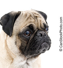 Cute Pug on White Background