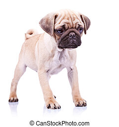 cute pug puppy dog standing