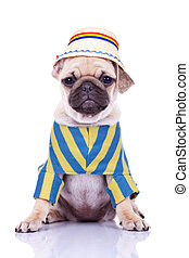cute pug puppy dog wearing clothes and a traditional ...