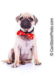 pug puppy dog with red bowtie - cute pug puppy dog with red ...