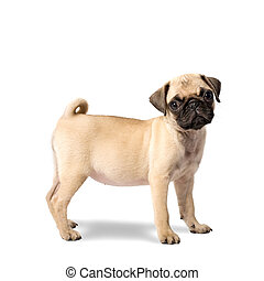 Pug Puppy - Cute Pug Puppy Isolated on White Background