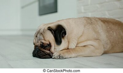 Cute pug sleeping on the floor. Sleepy small dog indoors.