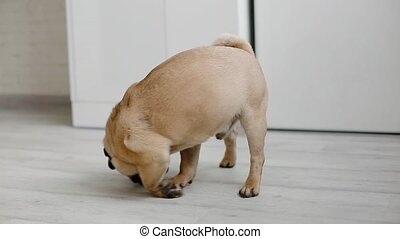 Cute pug sniffing the floor. Small dog indoors.