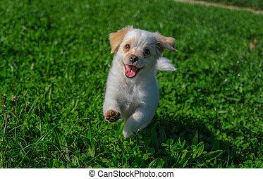 Cute puppie  - cute puppy running around the meadow