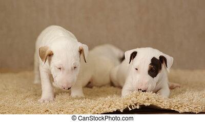 Cute puppies of bull terrier - Cute puppies of bullterrier...
