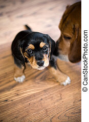 A an adorable puppy getting sniffed by another beagle.