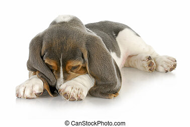 cute puppy - basset hound puppy burying his nose in paws...