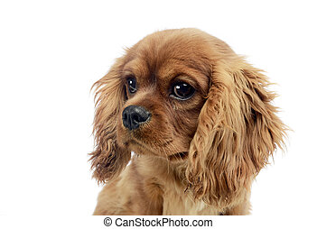 cute puppy Cavalier King Charles Spaniel in studio