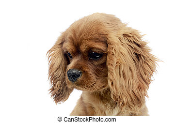 cute puppy Cavalier King Charles Spaniel portrait in white studio