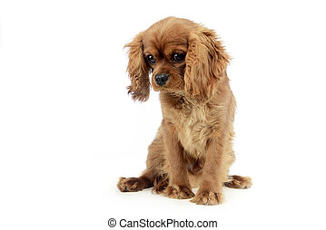 cute puppy Cavalier King Charles Spaniel sitting and looking down in a white studio
