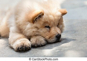Cute puppy chow chow - Portrait of a young puppy chow chow