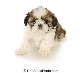 cute puppy - cute shih tzu puppy on white background