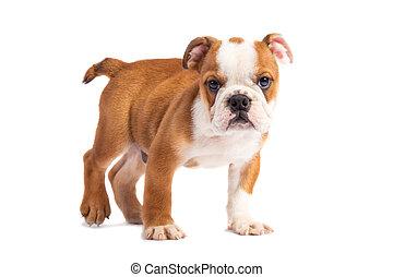 Cute puppy - english bulldog puppy