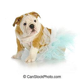 cute puppy - english bulldog puppy wearing blue tutu on...