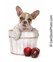 Puppy in an Apple Barrel - Cute Puppy in an Apple Barrel