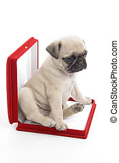 cute puppy in necklace box against white background