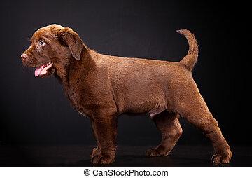 Cute puppy of Labrador retriever on black