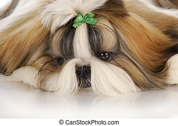 cute puppy - adorable shih tzu puppy with green bow - head...