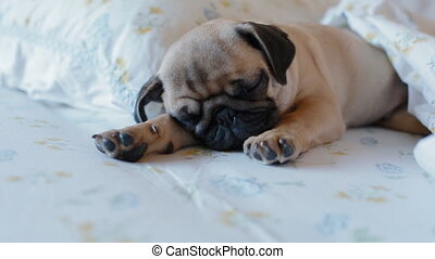 Cute puppy the pug sleeping in the bed