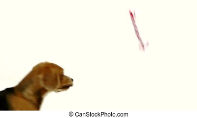 Cute puppy with red ribbon. Slow motion - Cute puppy with...
