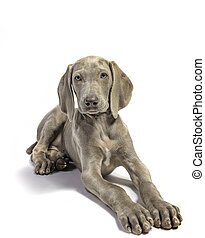 Cute Weimaraner puppy photographed in the studio on a white background.