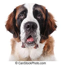 cute, purebred, bernard, são, filhote cachorro