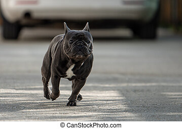 Cute purebreed gray frech bulldog caught outside while...